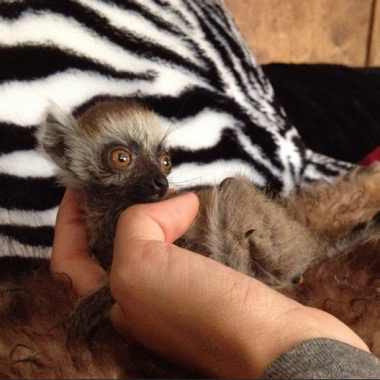 """Oriun the ring tailed lemur was found on the floor – didn't take to mama so he moved into the house."" (Credit: Ingrid Sabee)"