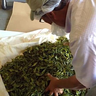Sakuma wraps the tea leaves in a ball shape.