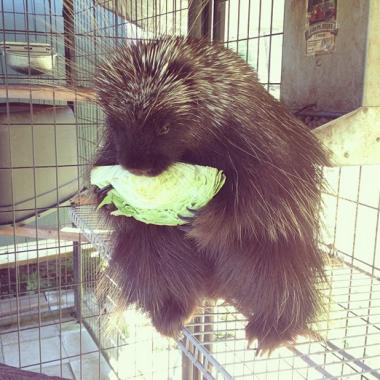 """""""Porcupines luuurve cabbage."""" (Credit: Ingrid Sabee)"""