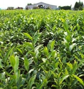 teaplants