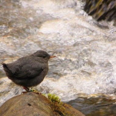 An American dipper is seen perched over the Elwha River. (Courtesy of Chris Tonra)
