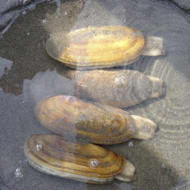 Trapped clams will start digging their way back into the sand within seconds. (Rae Ellen Bichell/KPLU)