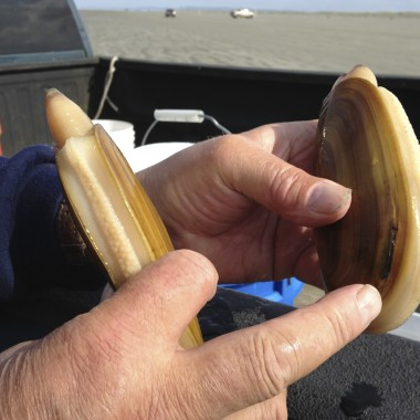 You can tell the age of a clam by counting the rings on its shell. (Rae Ellen Bichell/KPLU)