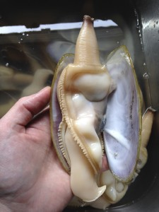 Clear blood pumps through the clam's single-chambered heart. (Rae Ellen Bichell/KPLU)