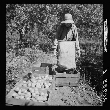 August 1939: Dumping full sack of picked pears to lug box, which will be trucked to the packinghouse. Note design of picking sack which opens from bottom. (Dorothea Lange/Farm Security Administration)