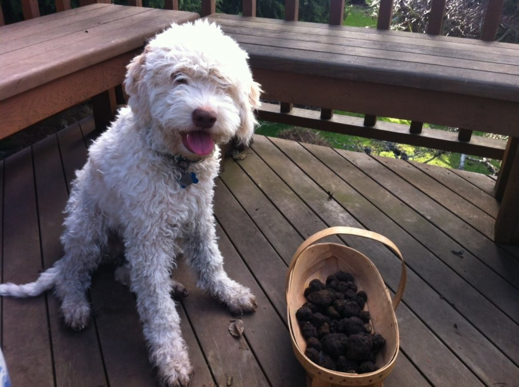 Jean Luc, a Lagotto Romagnolo, belongs to Alana McGee. (Courtesy of Truffle Dog Company)