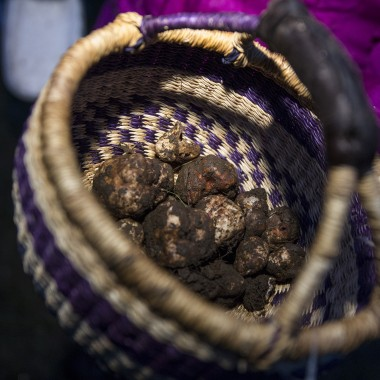 The afternoon's harvest: a basket of Oregon white truffles.  (Justin Steyer/KPLU)
